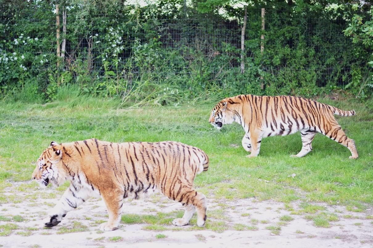 tigres en liberte