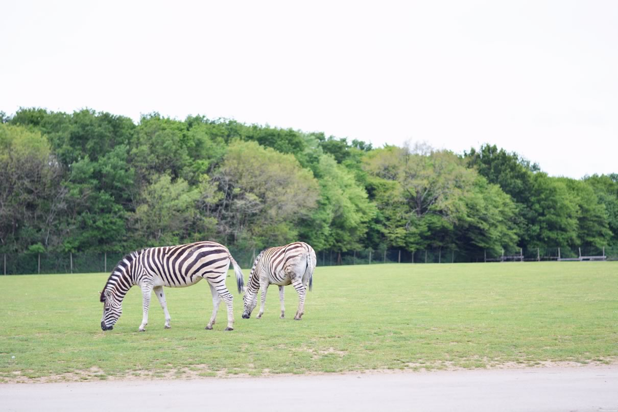 zebres planete sauvage nantes